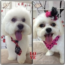 Two freshly groomed white dogs, with bandana, bow tie, and red hat hair clip.